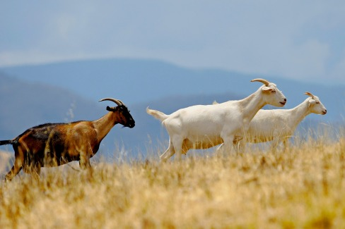 Goats in grass