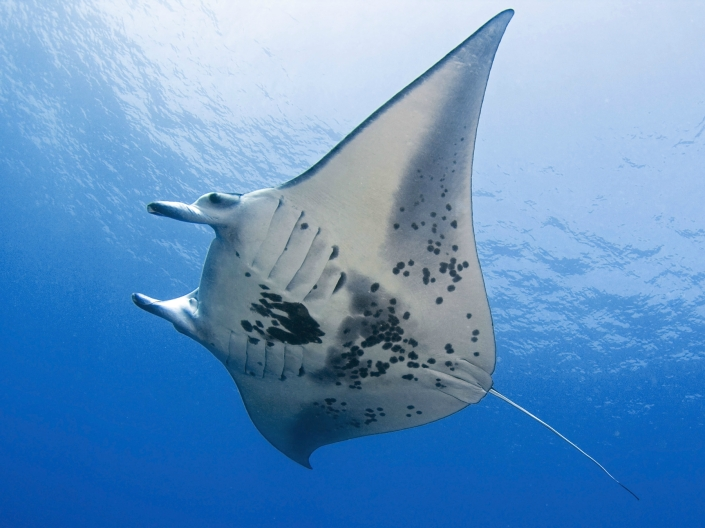 Manta Ray Floats By
