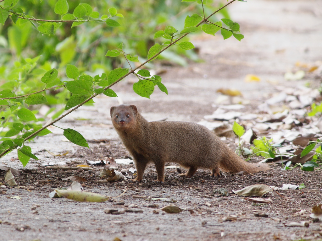 Mongoose in Hawaii