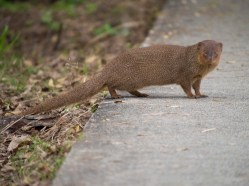 Mongoose in hawaii